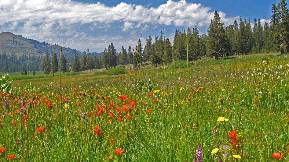 Wildflowers Reno Tahoe