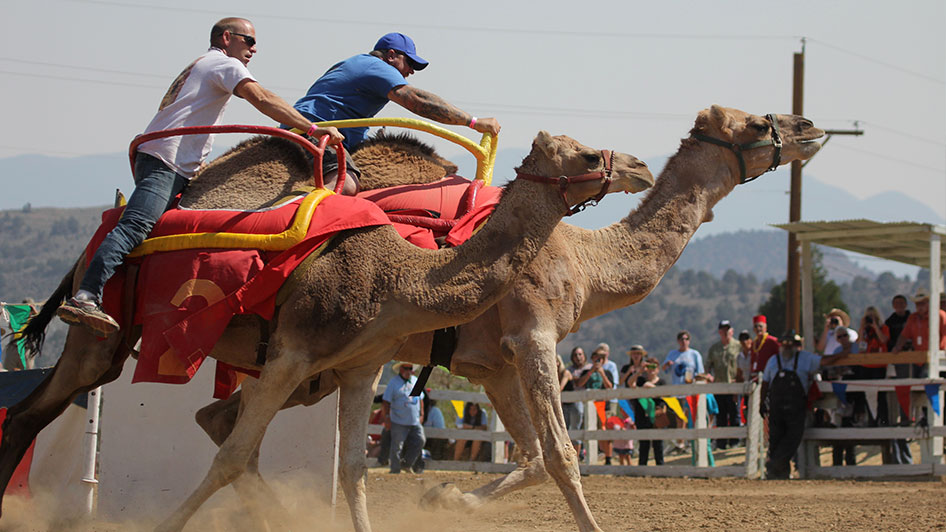International Camel Amp Ostrich Races Visitrenotahoe Com
