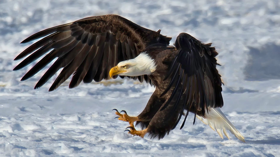 Eagles and Agriculture Carson Valley