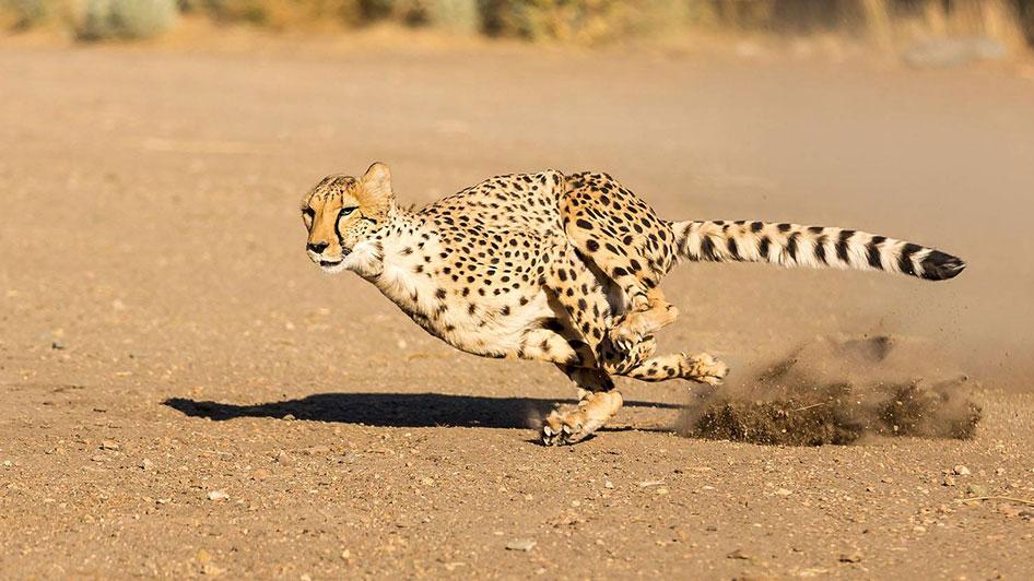 Animal Ark Reno Cheetah Dash