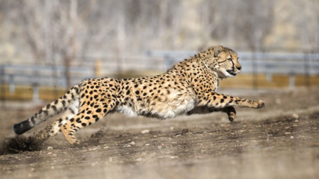 Animal Ark Cheetah Dash Reno